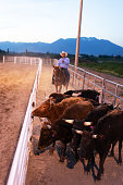 Cowboy pushing cattle to the roping box