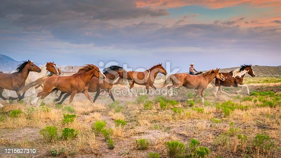 Cowboy Rancher bringing back home to his Ranch a herd of young wild horses running together on prairie grassland. Warm light close to dusk under beautiful sunset twilight. Utah, USA.