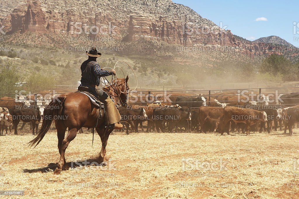 Cowboy Rancher Lassoing Cattle Herd royalty-free stock photo