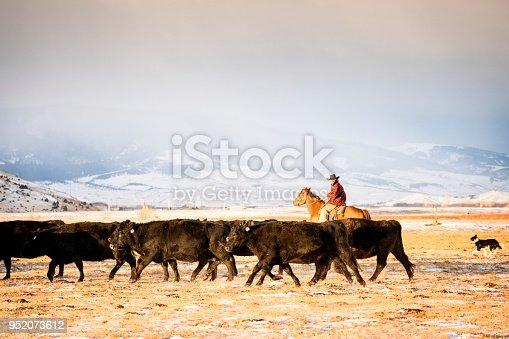 Man in his 30's wearing a cowboy hat and a red plaid jacket rides a quarter horse across snowy pastures to herd beef cattle on a ranch during winter, Livingston, Montana, USA