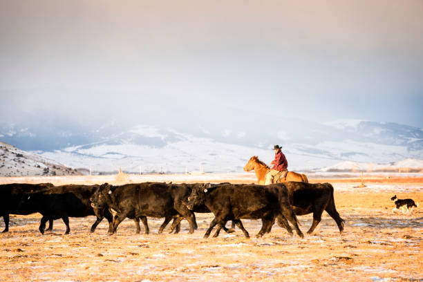 Cowboy riding a horse herds beef cattle in Absaroka Mountains Man in his 30's wearing a cowboy hat and a red plaid jacket rides a quarter horse across snowy pastures to herd beef cattle on a ranch during winter, Livingston, Montana, USA rancher stock pictures, royalty-free photos & images