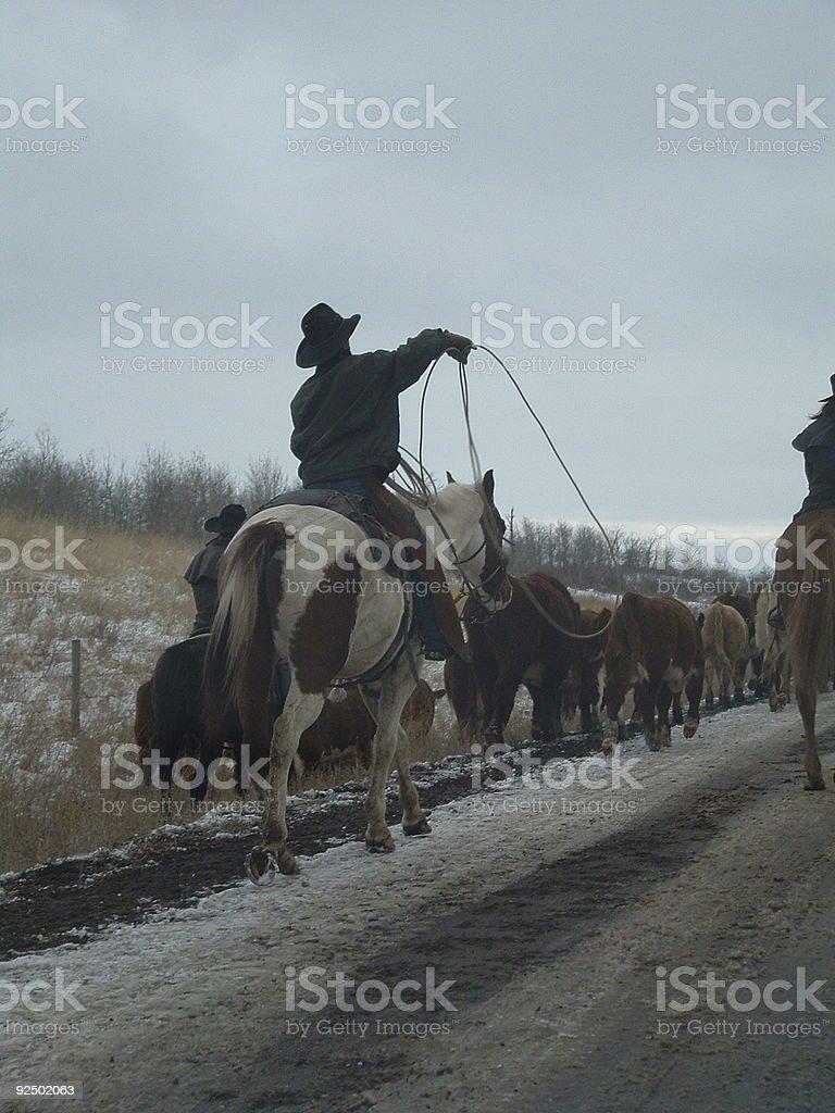 Cowboy Roping royalty-free stock photo