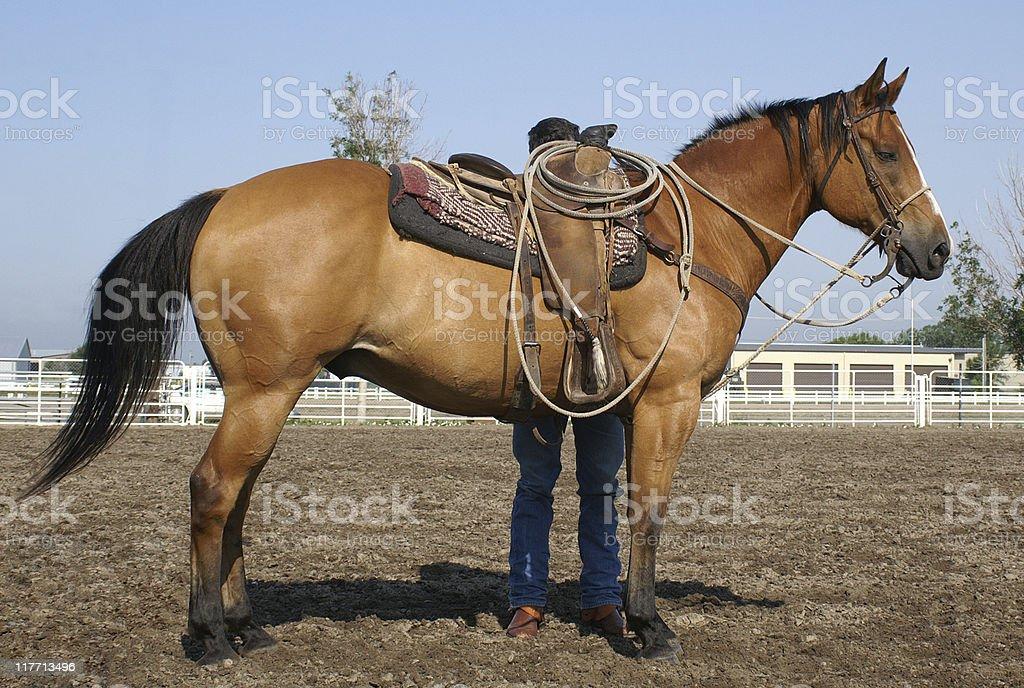 cowboy saddling horse stock photo