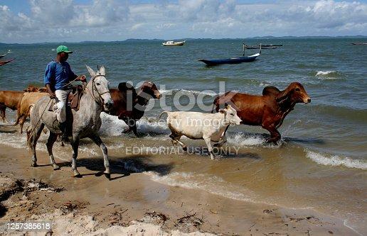santo amaro, bahia / brazil - april 27, 2013: cowboy leads cattle near the beach in the Acupe region, reconcavo da Bahia.