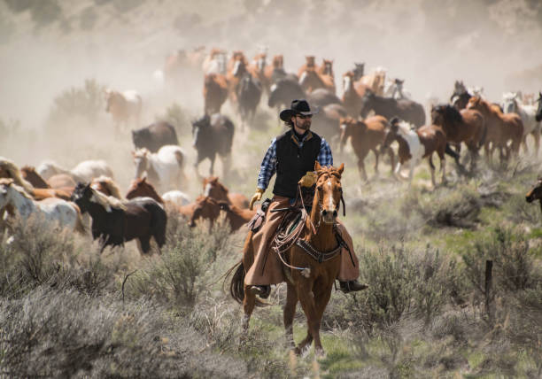 Cowboy wrangler with black hat and sorrel horse herding horse herd at a gallop during horse drive May 1, 2016 Craig, CO: Cowboy wrangler with black hat and sorrel horse herding horse herd at a gallop during annual Sombrero Ranch horse drive paint horse stock pictures, royalty-free photos & images
