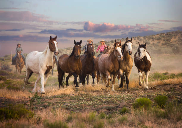 Cowboys and Cowgirls Herding Horses stock photo