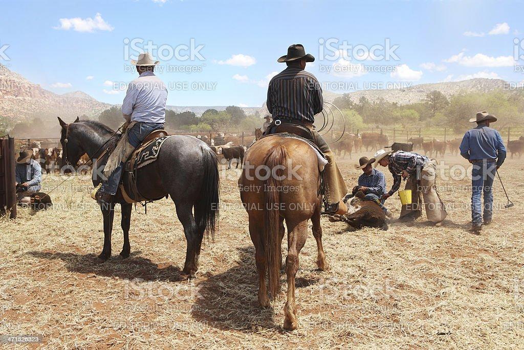 Cowboys Herding Branding Cattle stock photo