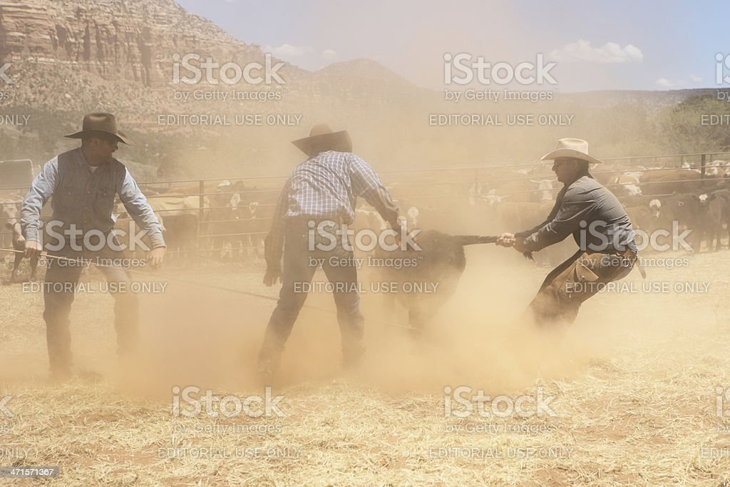 Cowboys Wrestle Ranch Cattle royalty-free stock photo