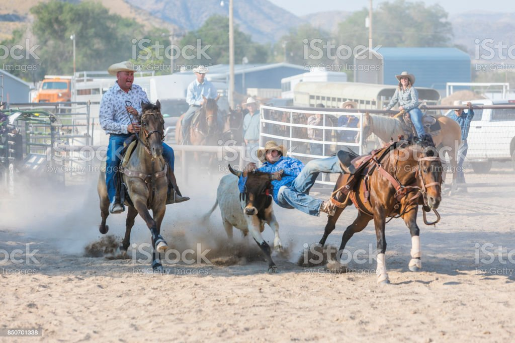 Cowboys Wrestling and Tying Steers at a Rodeo stock photo