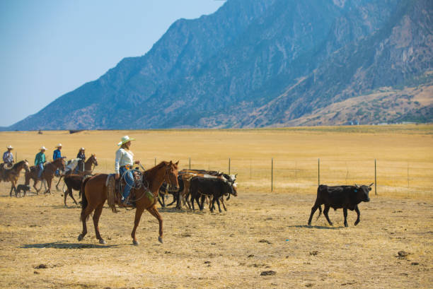 Cowgirl Herding Cattle A cowgirl herds cattle into a pen. rancher stock pictures, royalty-free photos & images