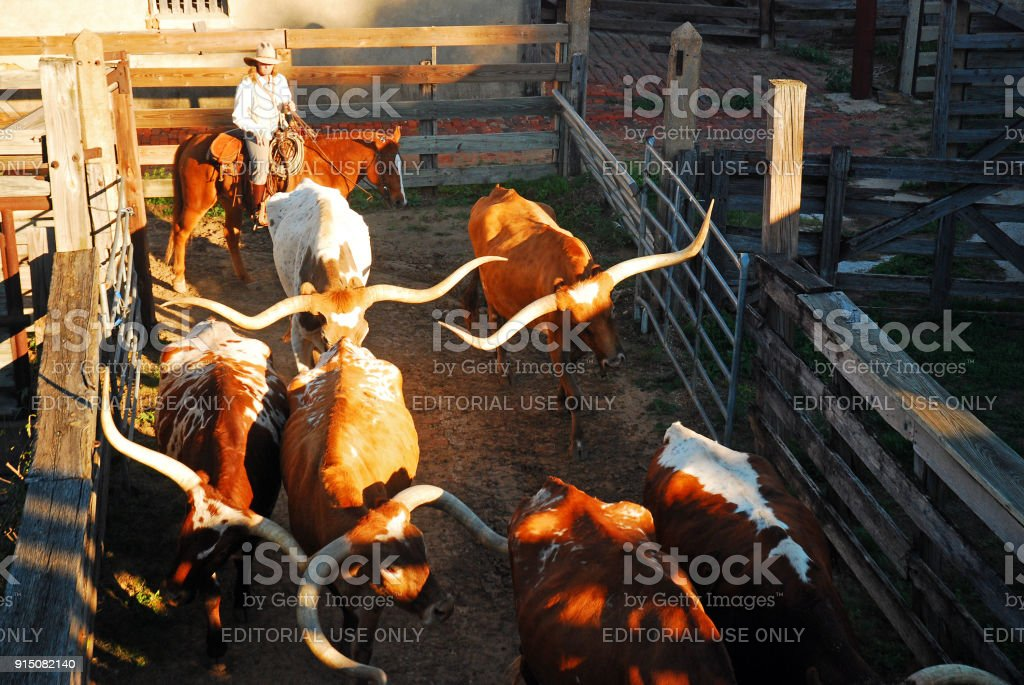 A Cowgirl leads Longhorn Bulls enter their pens stock photo