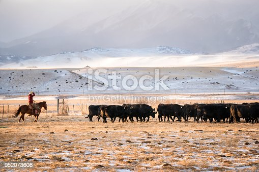 Woman in her 30's wearing red plaid jacket rides a quarter horse across snowy pastures to herd beef cattle on a ranch during winter, Livingston, Montana, USA