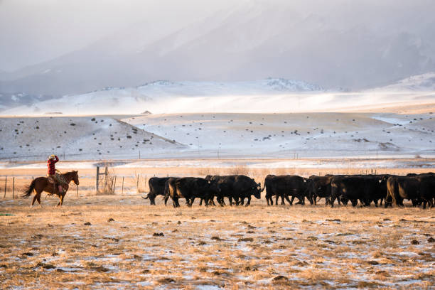 Cowgirl riding a horse herds beef cattle in Absaroka Mountains Woman in her 30's wearing red plaid jacket rides a quarter horse across snowy pastures to herd beef cattle on a ranch during winter, Livingston, Montana, USA rancher stock pictures, royalty-free photos & images