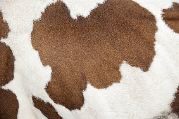 Cowhide of a calf Cowhide of a calf texture background cowhide stock pictures, royalty-free photos & images