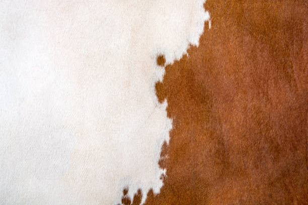 Cowhide Cowhide of simmental cattle cowhide stock pictures, royalty-free photos & images