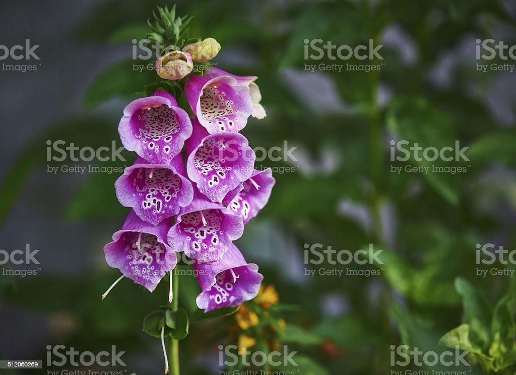Cowlflap (Digitalis purpurea) stock photo