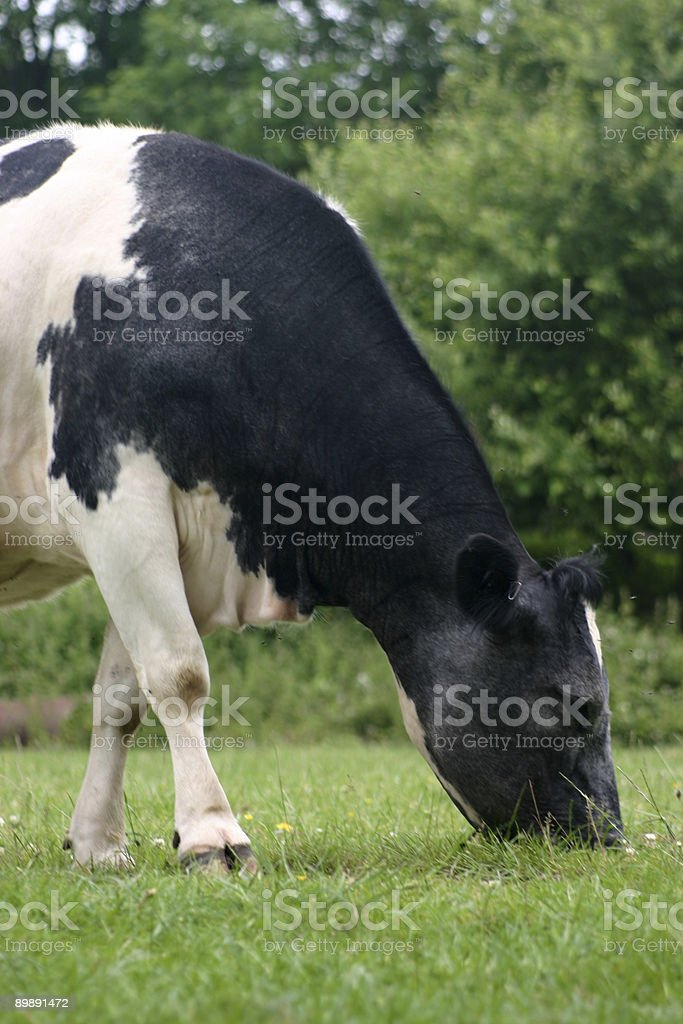 Cown eating royalty-free stock photo