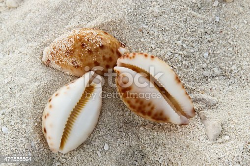 Cowrie Shells on the Sand Beach in the Maldives