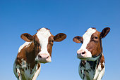 Cows, head and body up standing against a clear blue sky and looking at the camera and away. The background is a clear blue sky.