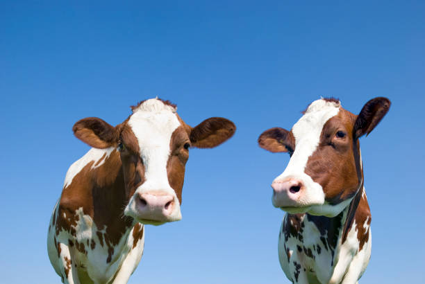 cows against blue sky - cow stock photos and pictures