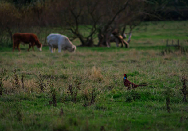 2 Cows and a Grouse stock photo