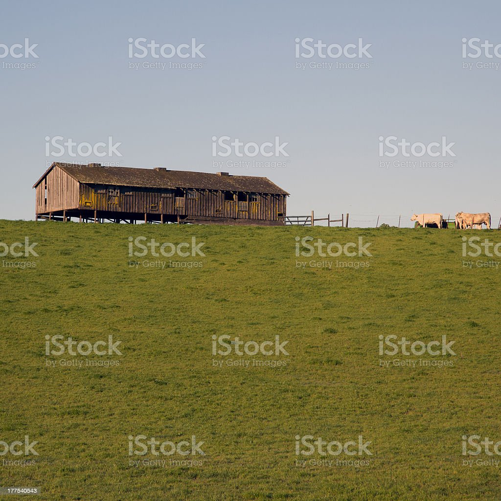 Cows and Barn at the Top of a Hill stock photo