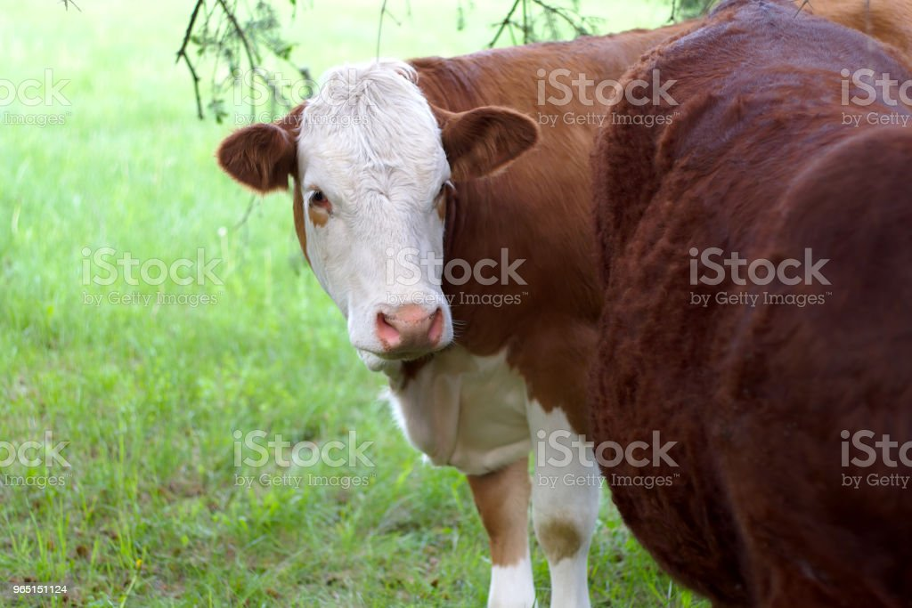cows and beef brown and white bovine agriculture dairy milk farmland royalty-free stock photo