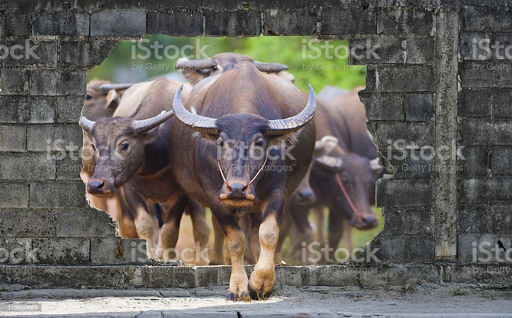 cows and buffaloes coming through a wall royalty-free stock photo