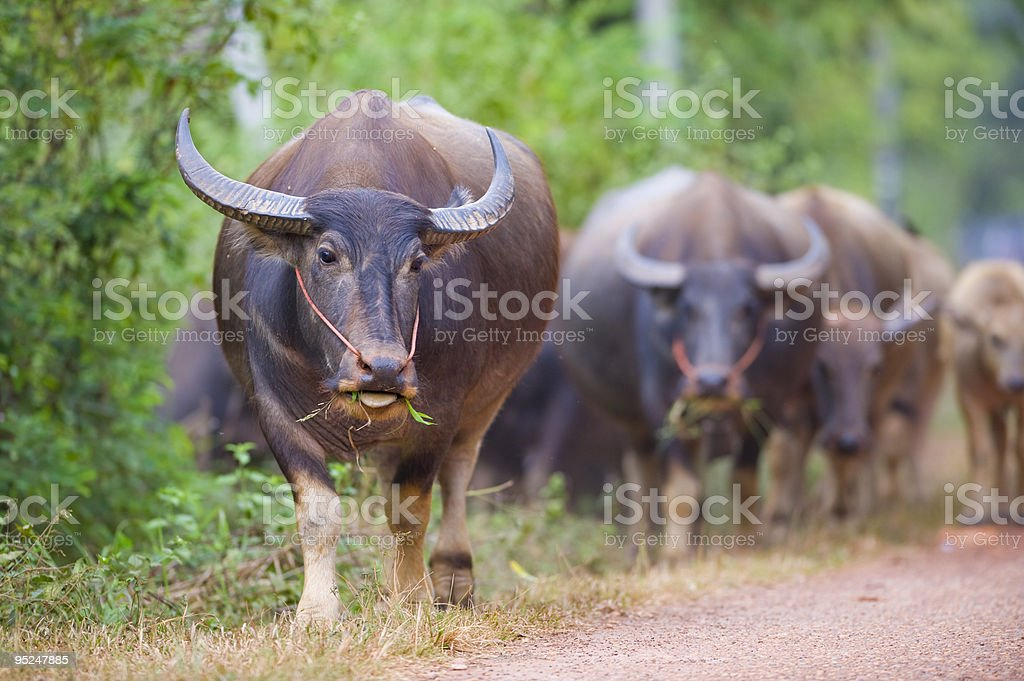 cows and buffalos in thailand stock photo