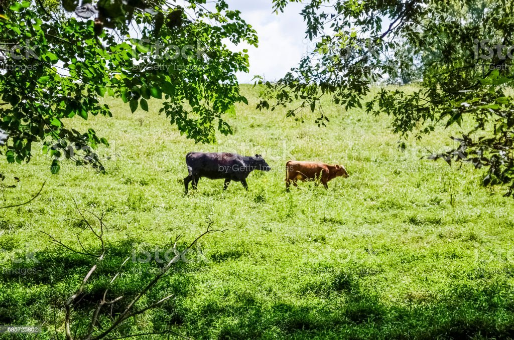 Cows and calf grazing by forest in meadow in countryside farm in Virginia in summer foto de stock royalty-free