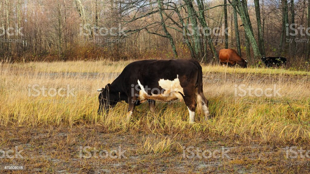 Cows and calves grassing in autumn stock photo