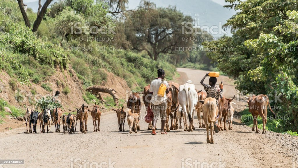 Cows and cattle in the Omo Valley of Ethiopia stock photo