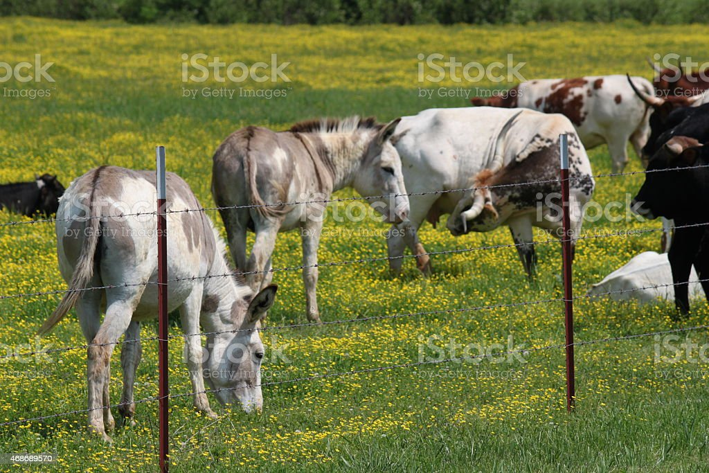 Cows and Donkeys in a field of yellow wildflowers stock photo