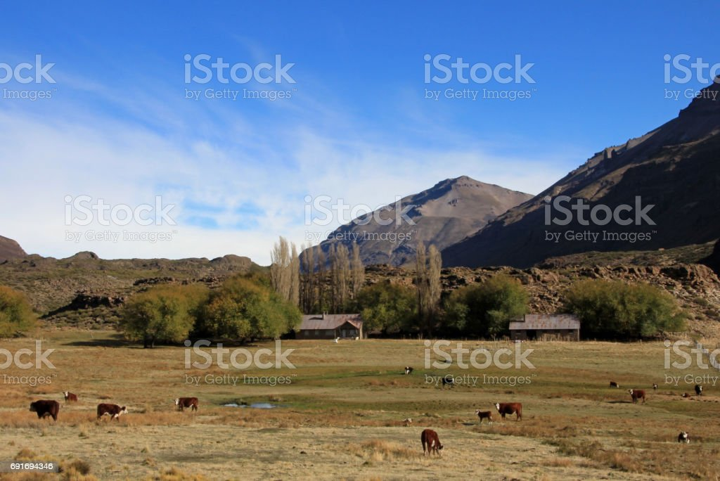 Cows and farm on a field in Argentina stock photo
