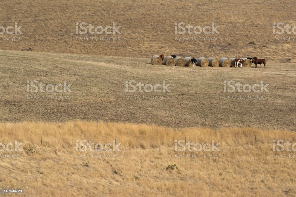 Cows and Hay Bales in Random Rural Field, Fleurieu Peninsula, SA stock photo