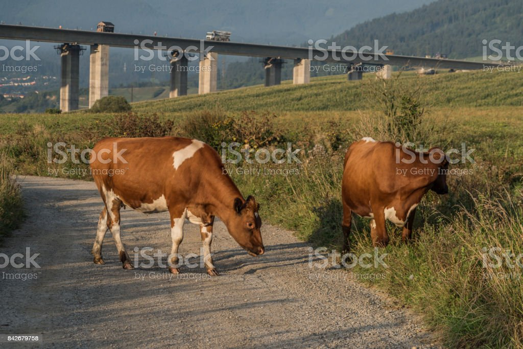 Cows and highway bridge near Ruzomberok town stock photo