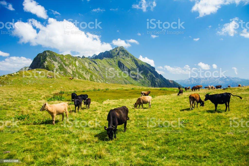 Kühe und Pferde im Hochland Almwiese Weide – Foto
