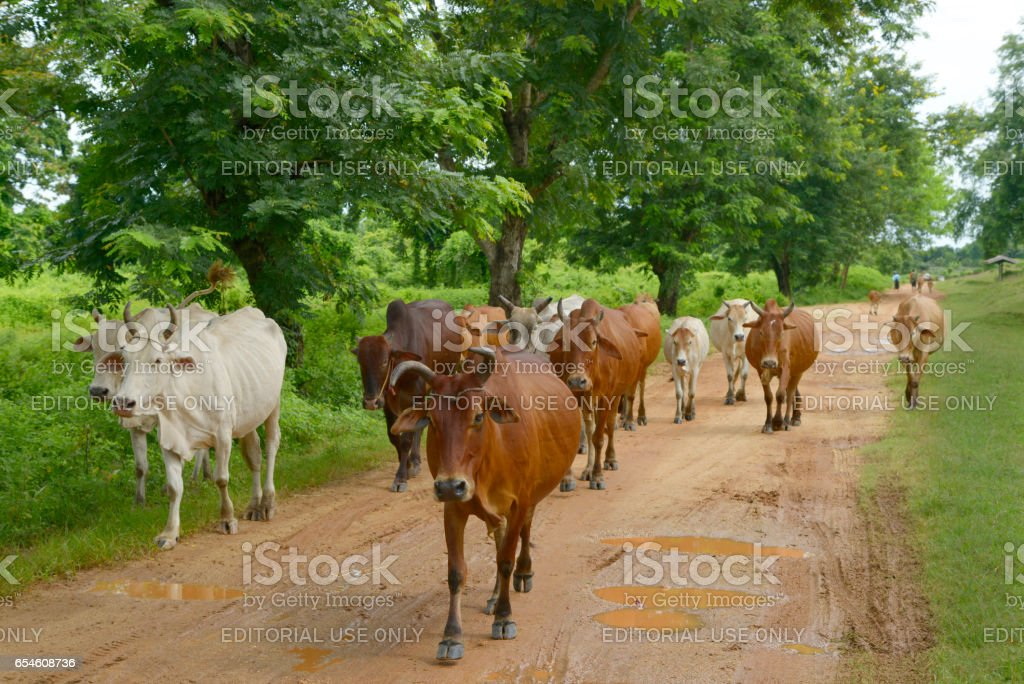 Cows and oxen on the road stock photo
