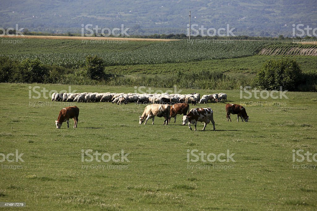 Cows and sheep in pasture stock photo