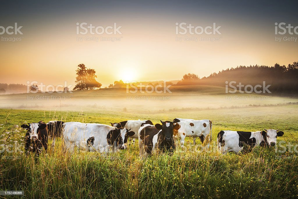Cows and Sunset - Foggy Rolling Landscape - Royalty-free Agricultural Field Stock Photo