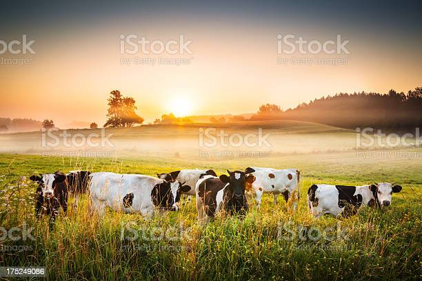 Cows And Sunset Foggy Rolling Landscape Stock Photo - Download Image Now