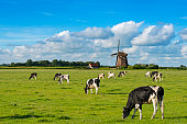 Typical Dutch landscape, with cows and a windmill under a nice clouded sky