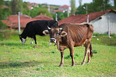 cows are eating grass in nature