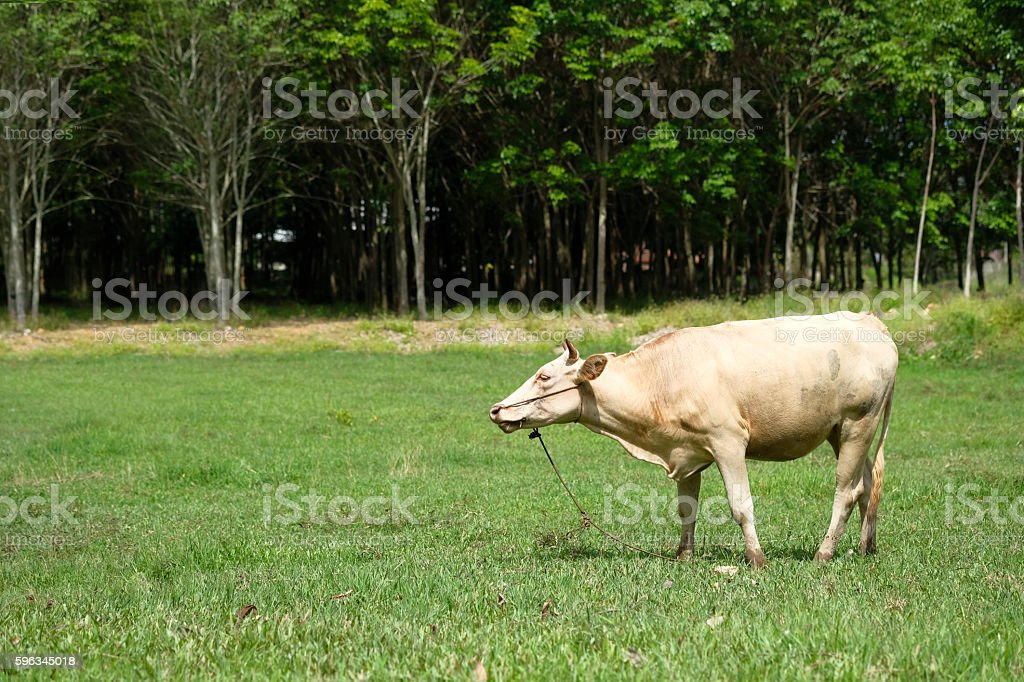 Cows are eating grass royalty-free stock photo