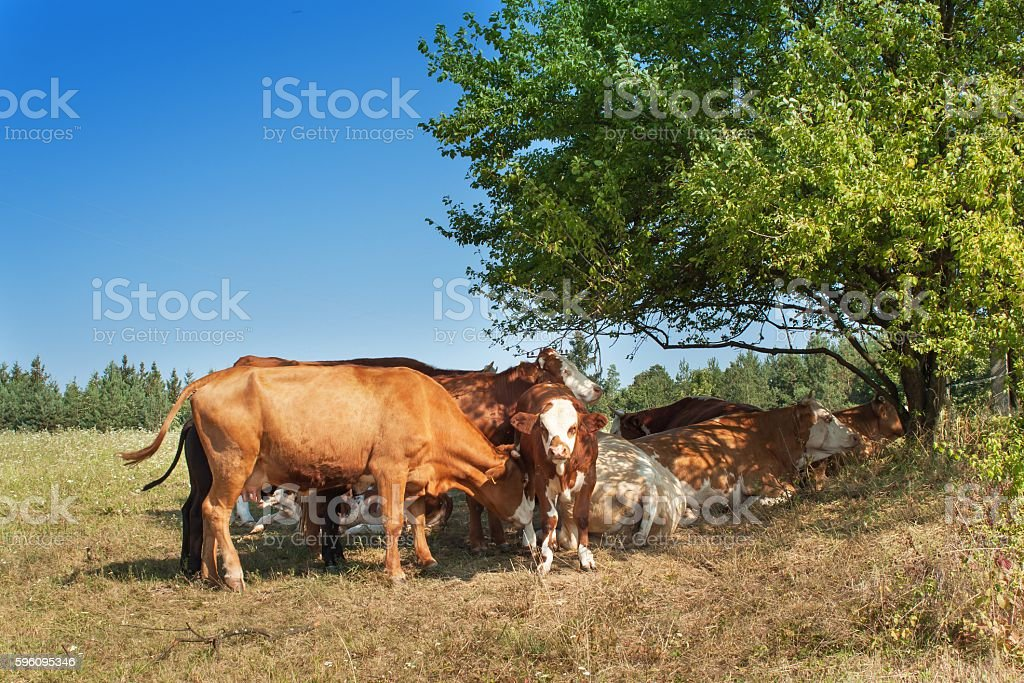Cows are hiding in the shade of bushes royalty-free stock photo