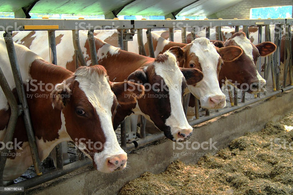 Cows are real farm animals stock photo