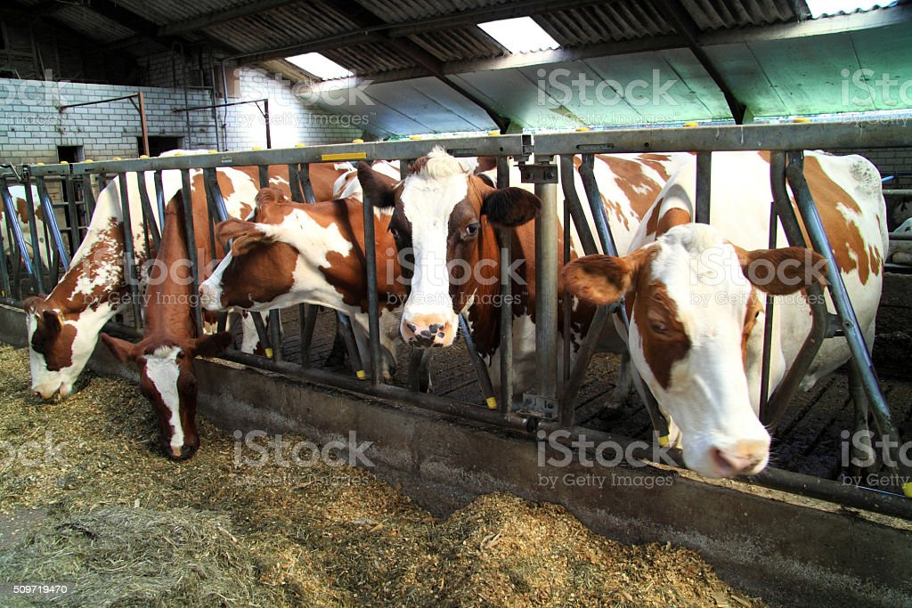 Cows are ruminants stock photo