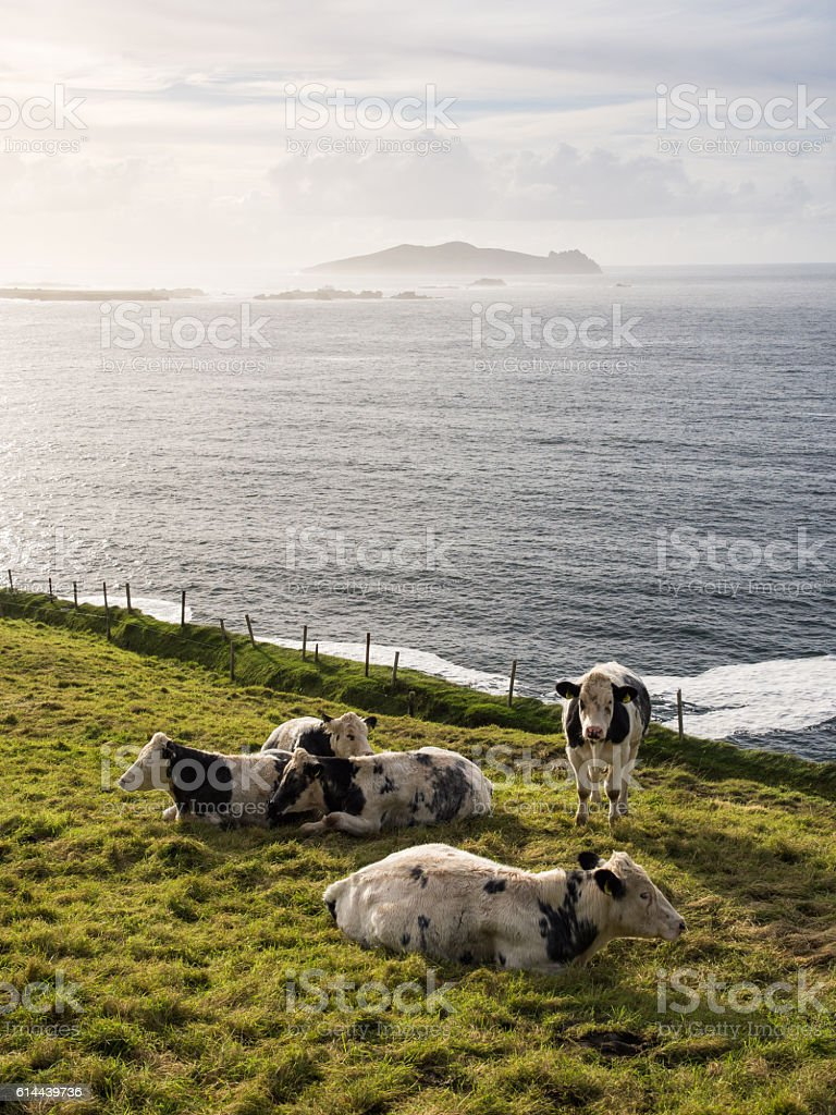 Cows at Dunquin stock photo