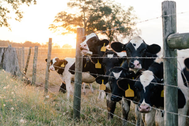 Cows At Fence stock photo