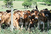 Brown cows crowded together at the fence.